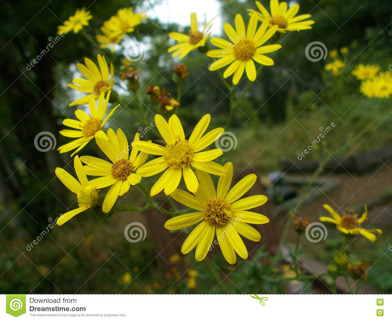 Euryops pectinatus yellow bush daisy stock photo image of flower download comp izmirmasajfo