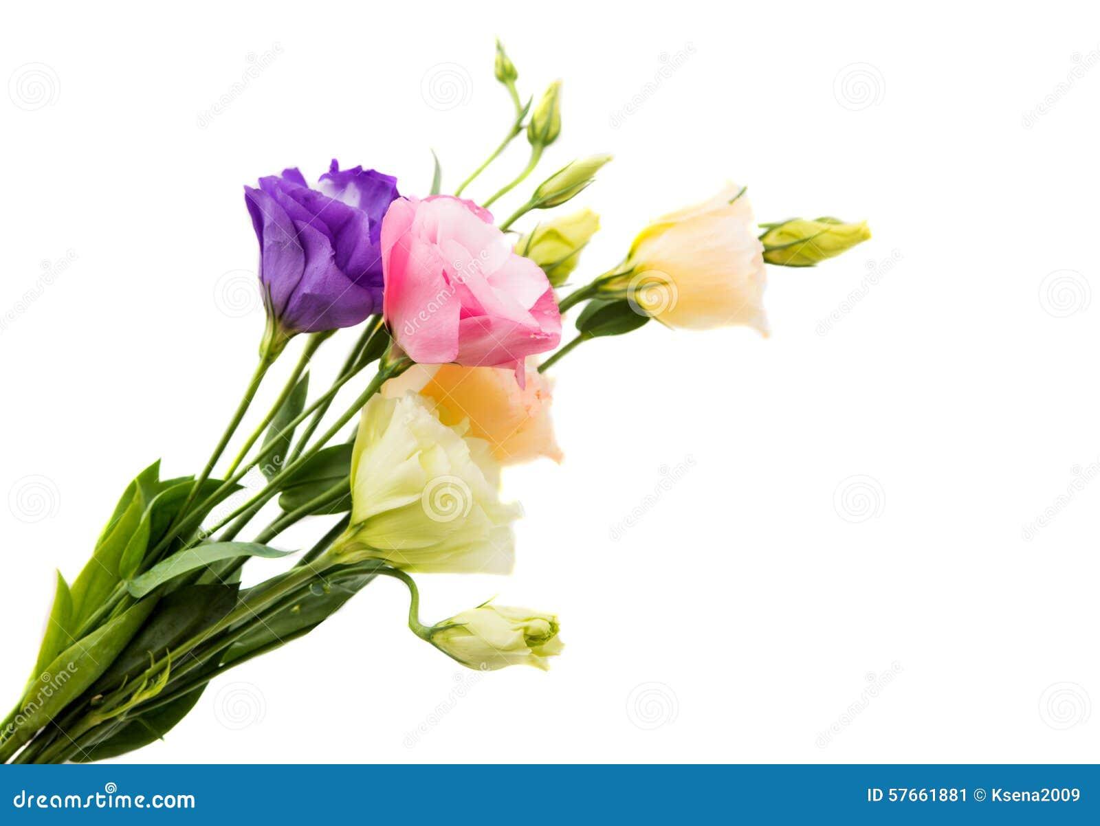 Eustoma kwiat