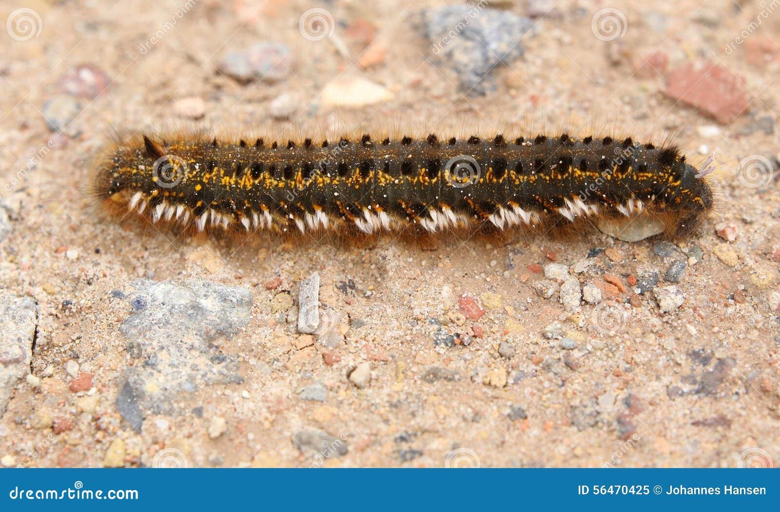 Euthrix Potatoria Caterpillar On Ground