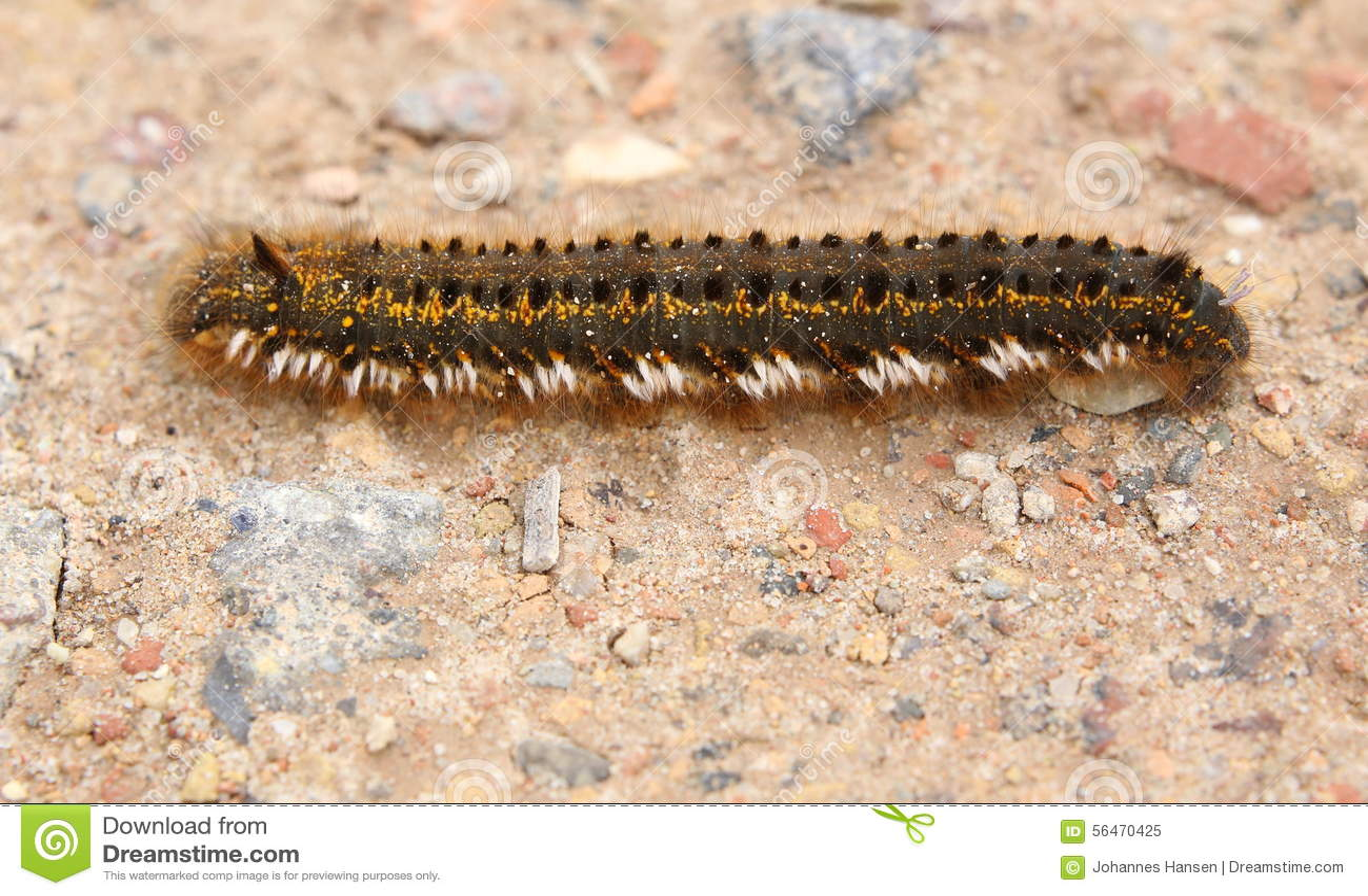Euthrix Potatoria Caterpillar på jordning
