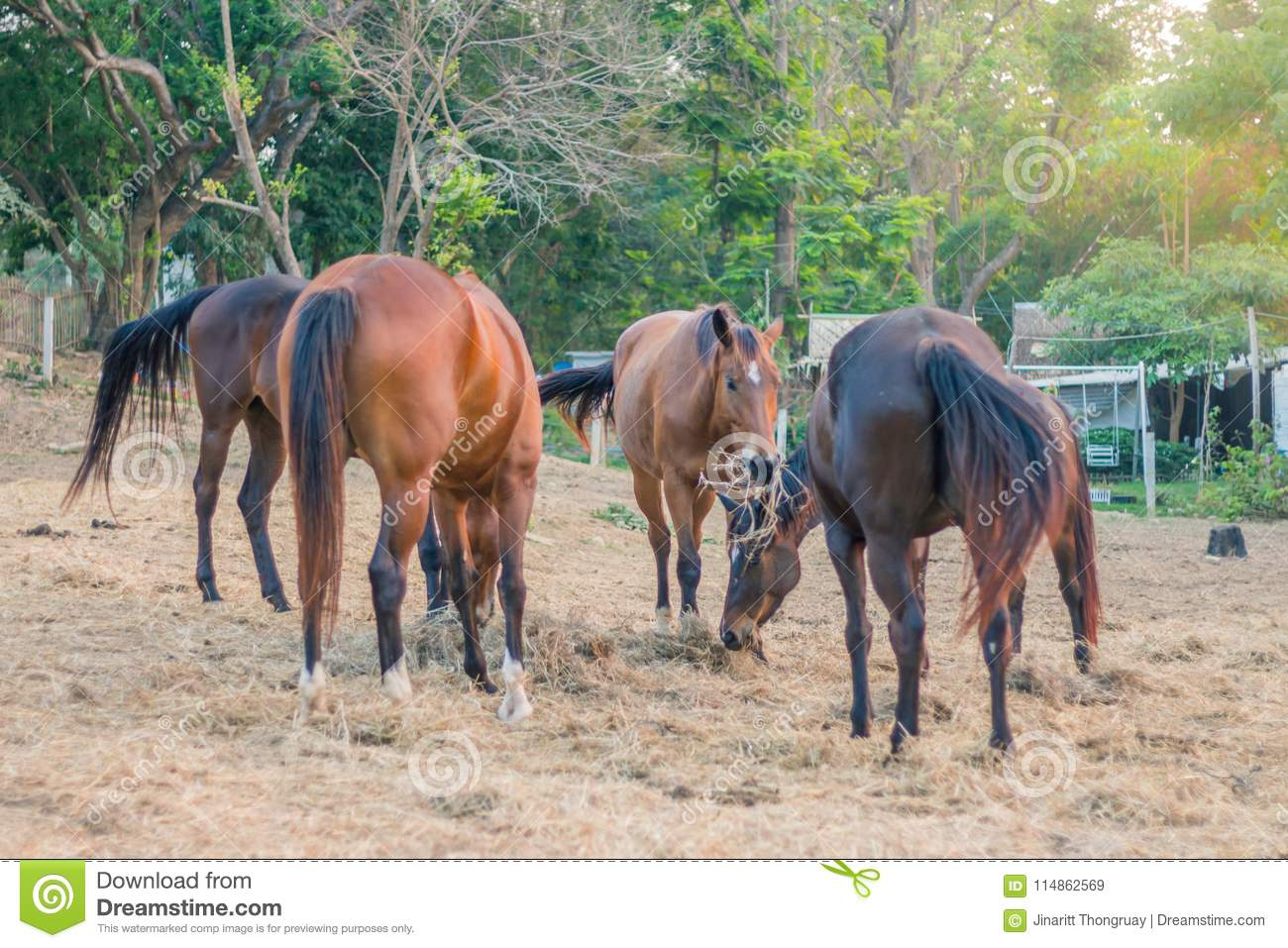 In the evening, the horses are resting after being trained in a