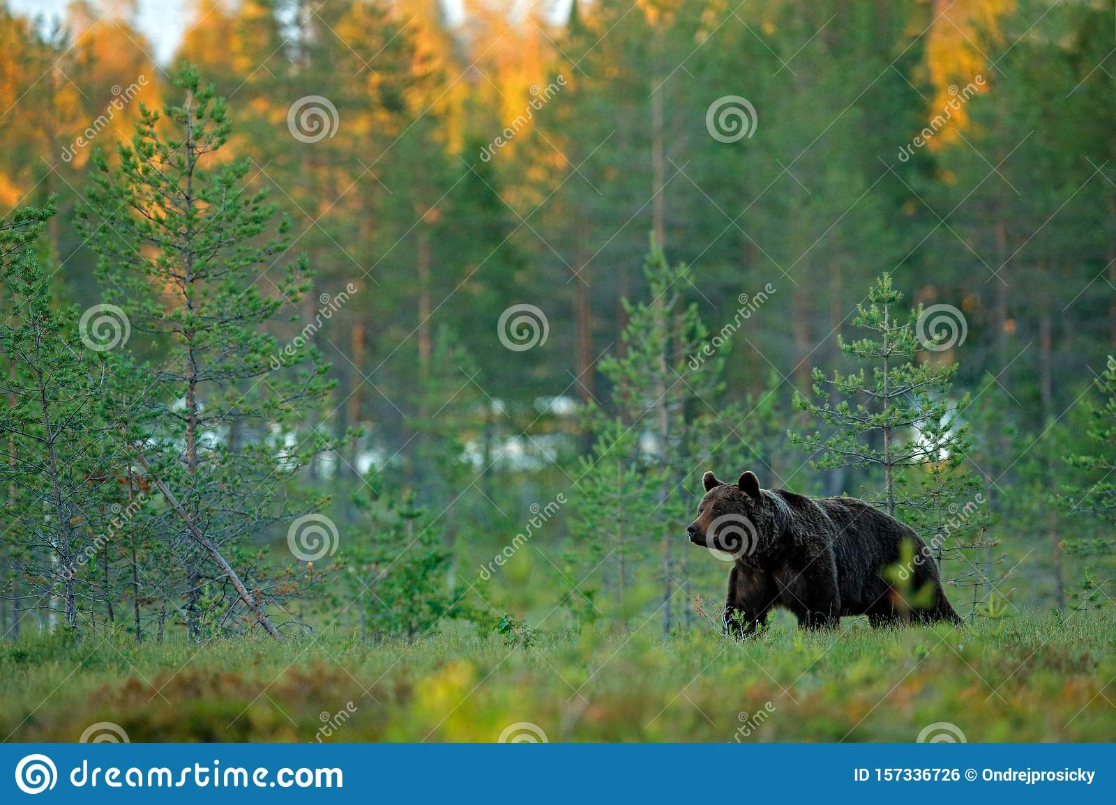 Evening light in taiga with bear. Dangerous animal in nature forest and meadow habitat. Wildlife scene from Finland near Russian