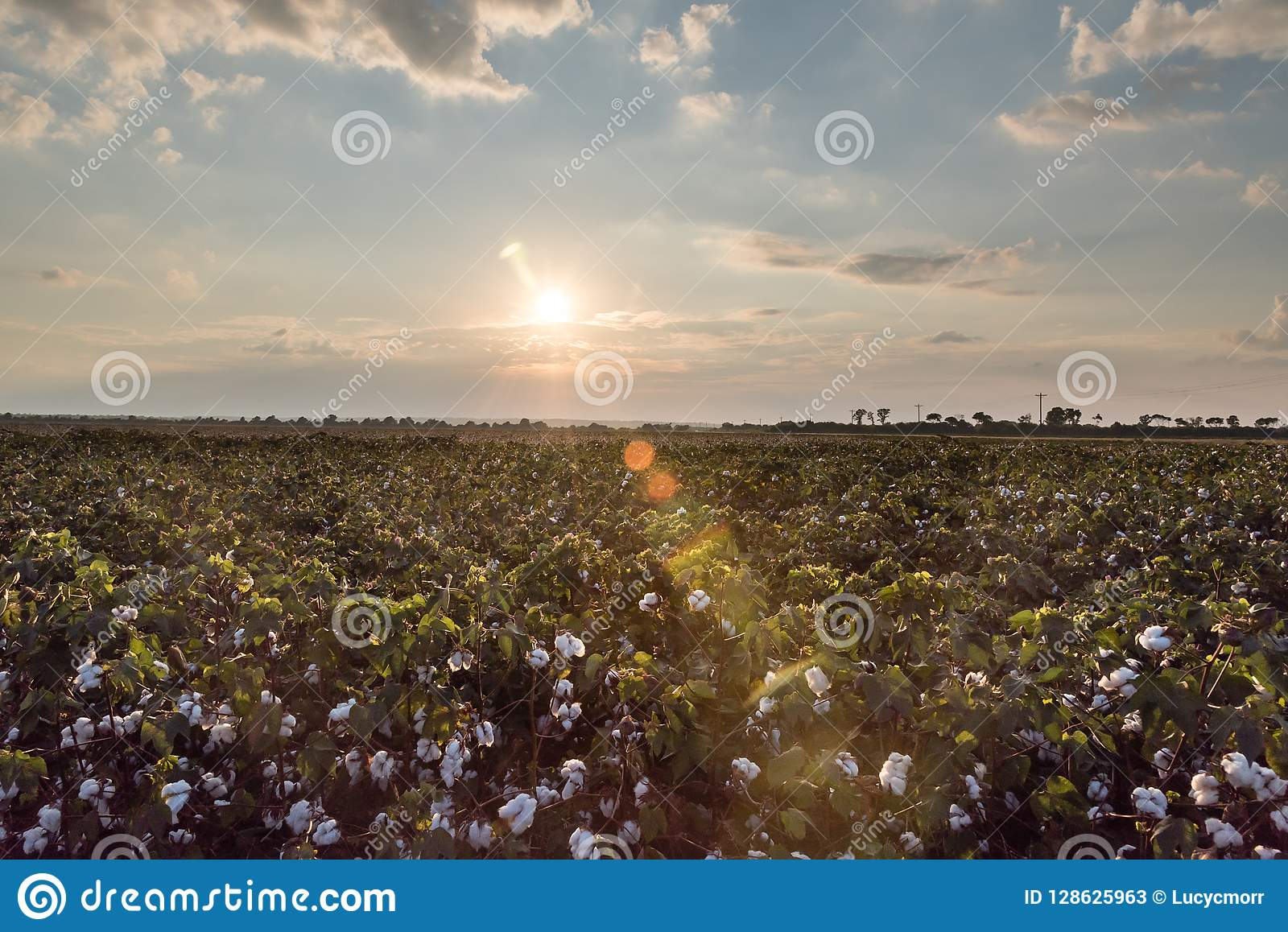 Evening Sun and Sunflares over Green Cotton Field