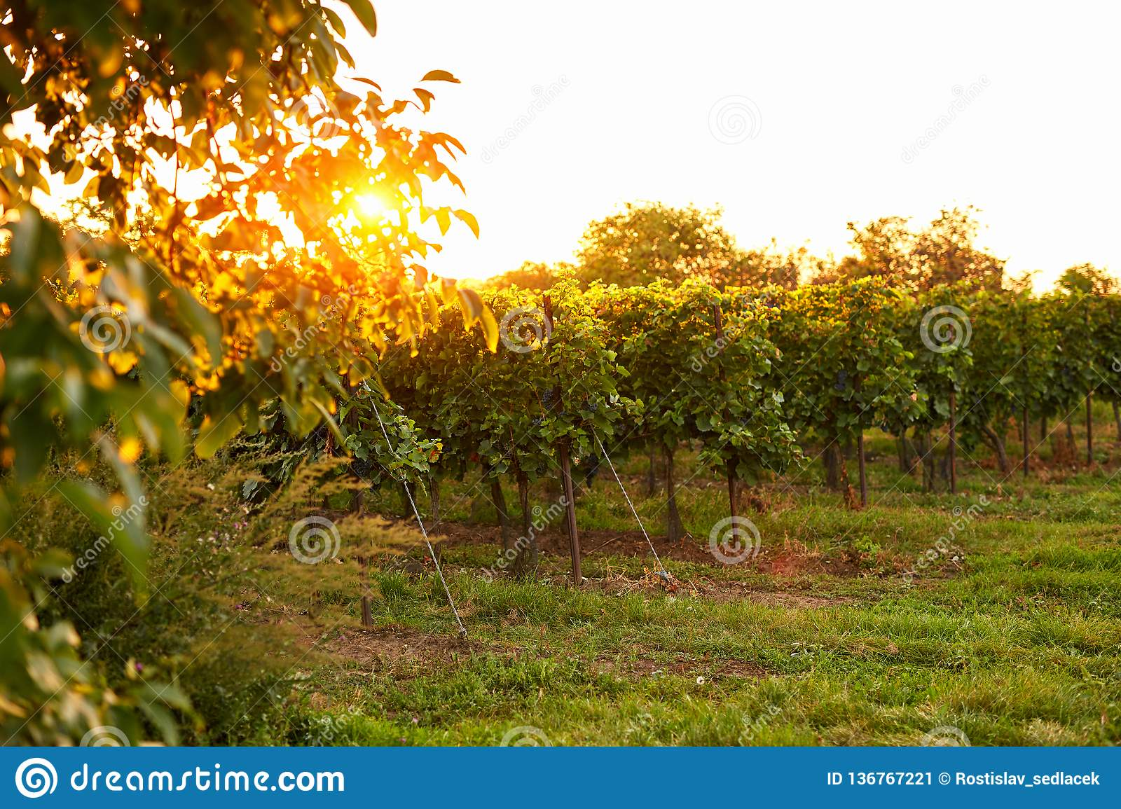 Evening view of vineyards with sun in the background