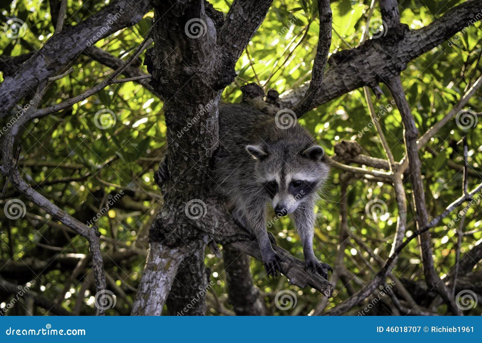 Everglades Racoon 2