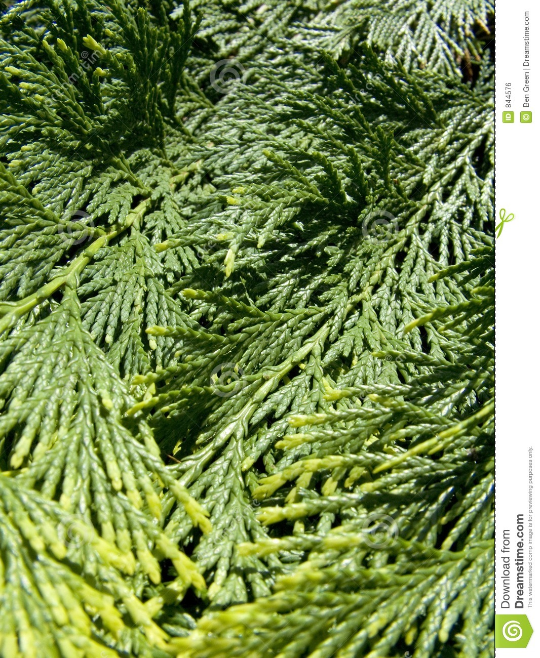 Evergreen royalty free stock image image 844576 for The evergreen