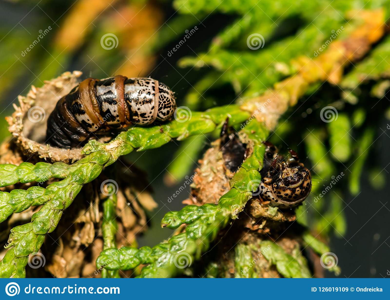 Evergreen Bagworm Eating An Ornamental Cedar Stock Image