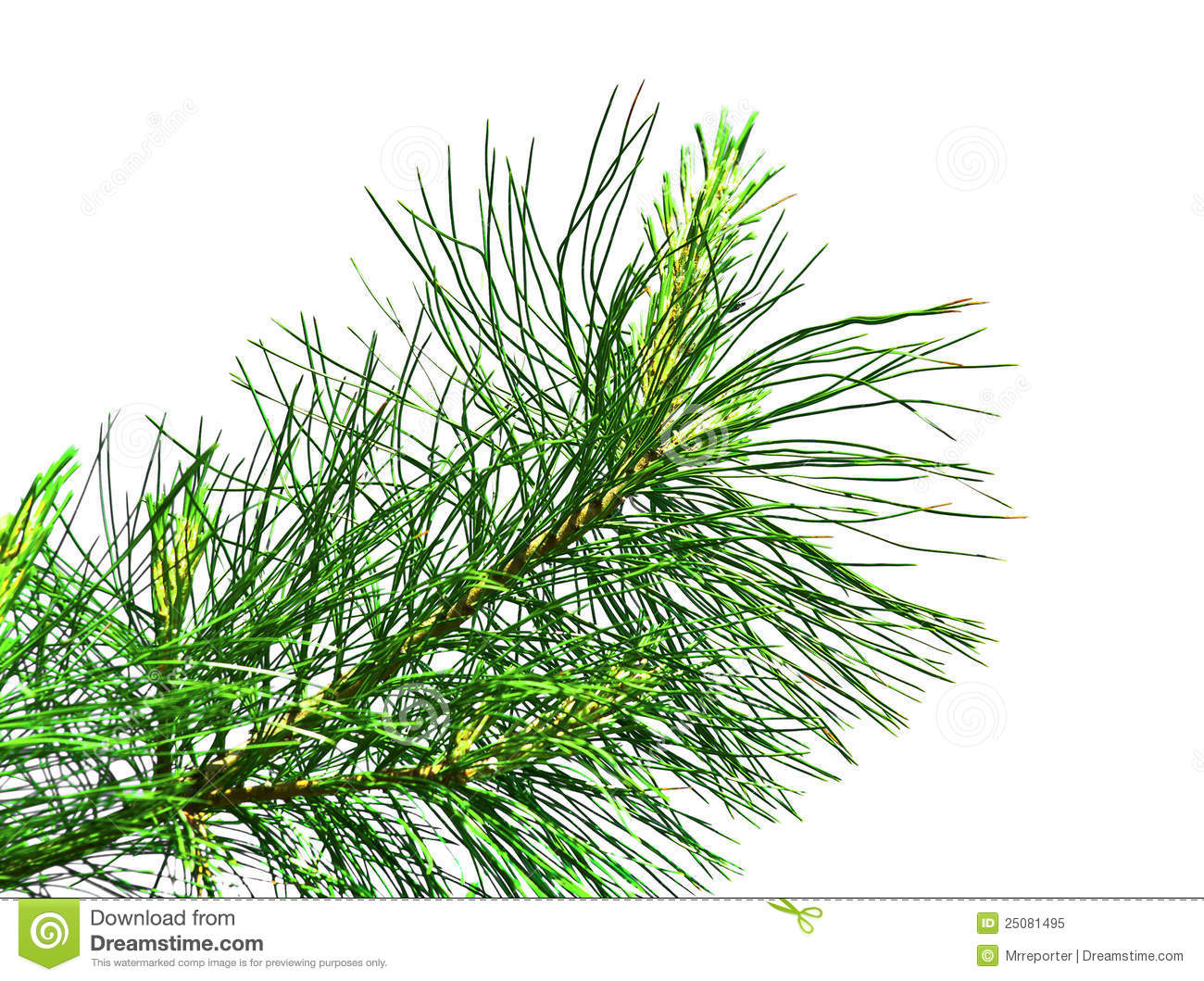 Evergreen Branch Royalty Free Stock Photo - Image: 25081495 Evergreen Branch