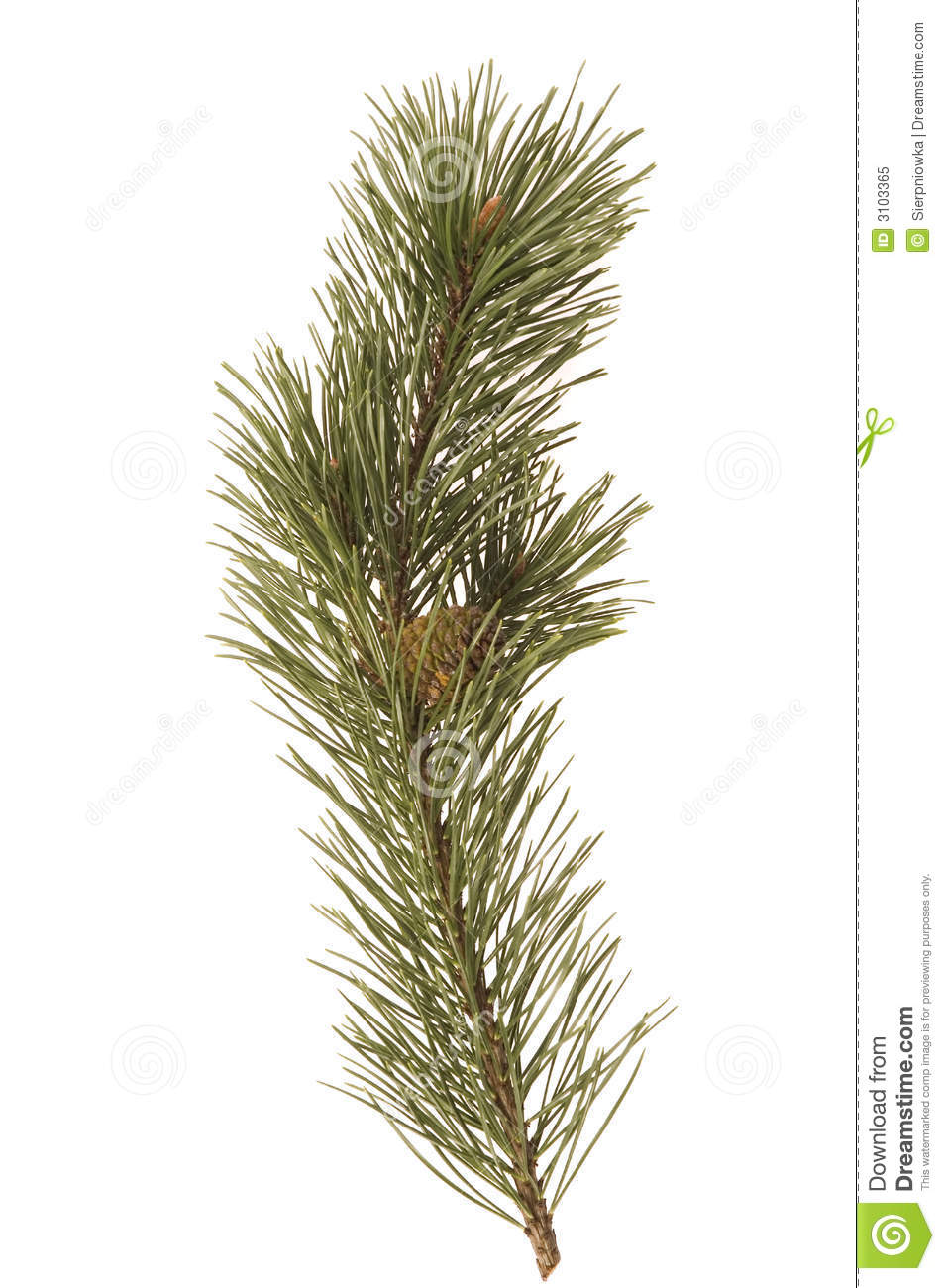 Evergreen Branch Royalty Free Stock Photo - Image: 3103365 Evergreen Branch