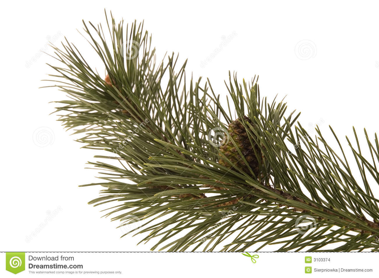 Evergreen branch stock photo. Image of closeup ... Evergreen Branch