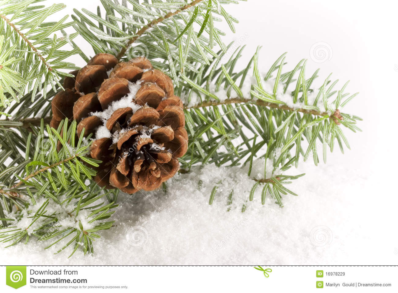 Evergreen Branch with Cone stock image. Image of branch ... Evergreen Branch