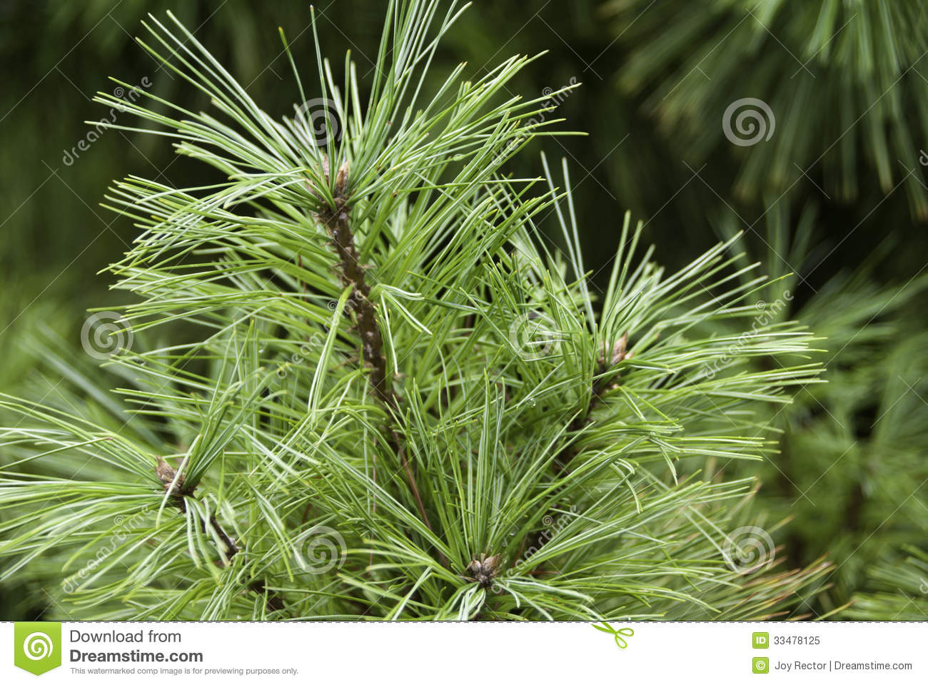 Evergreen Branch Royalty Free Stock Photo - Image: 33478125 Evergreen Branch