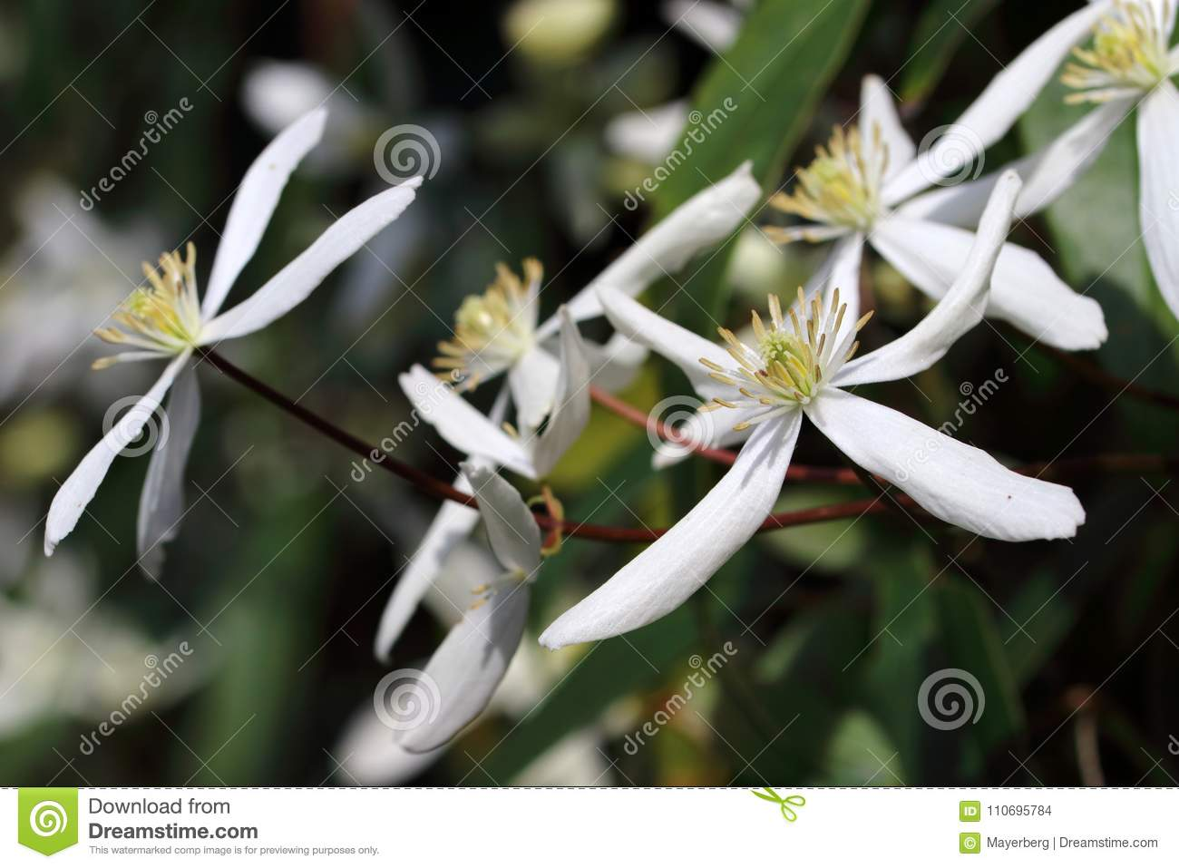Evergreen Clematis Clematis Armandii Apple Blossom Blooms With