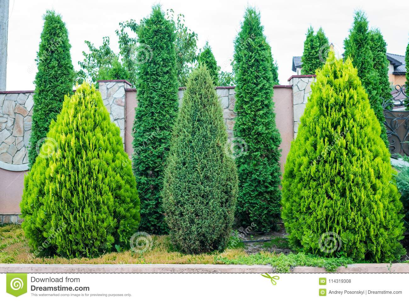 Decorative Evergreen Trees For Landscaping Stock Photo Image Of Landscape Branch 114319308