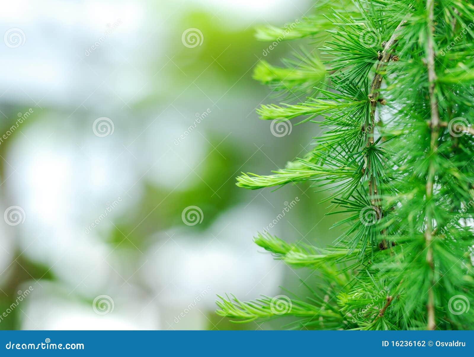Evergreen fresco. Priorità bassa Defocused.