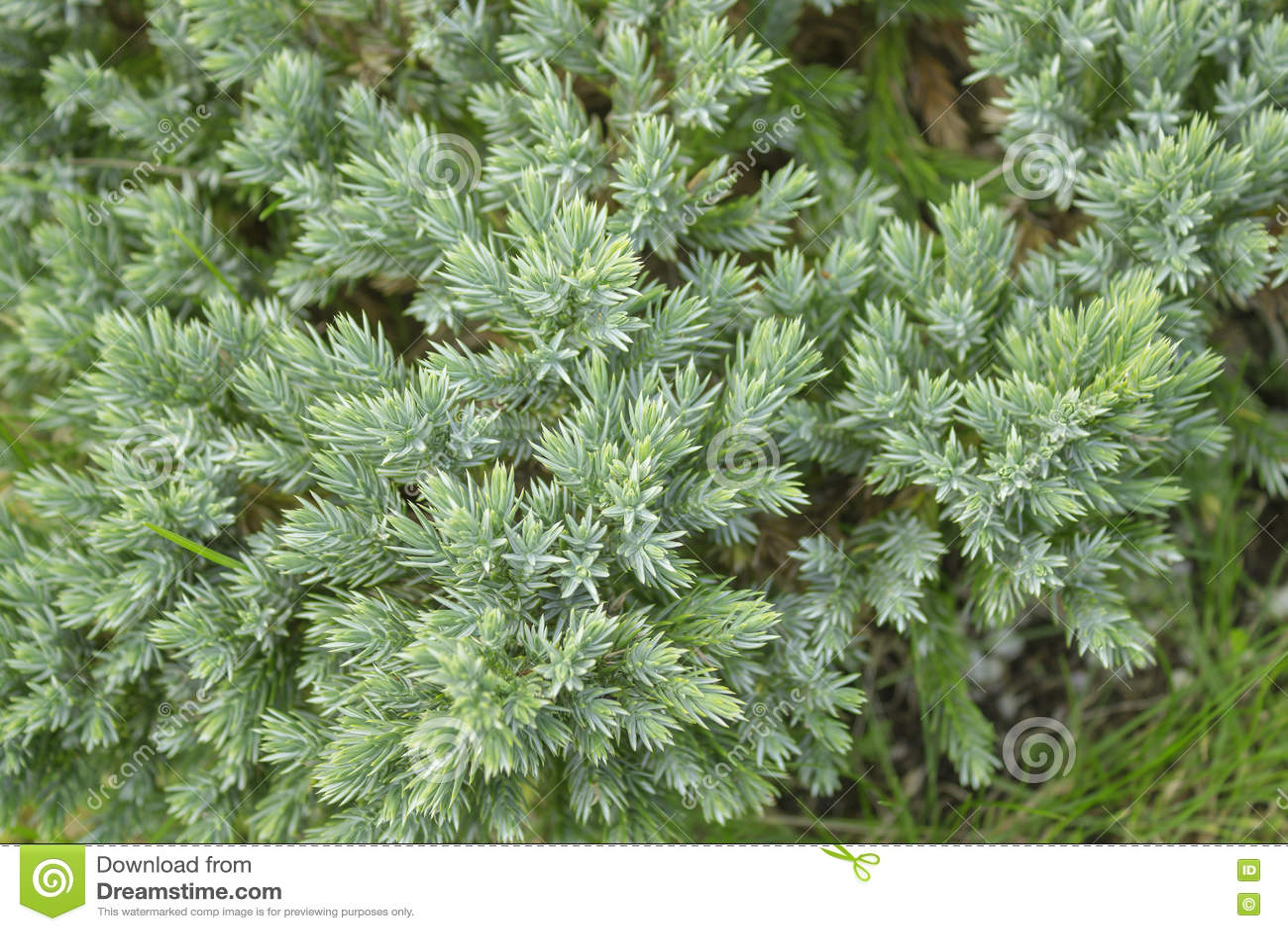 Evergreen juniper tree