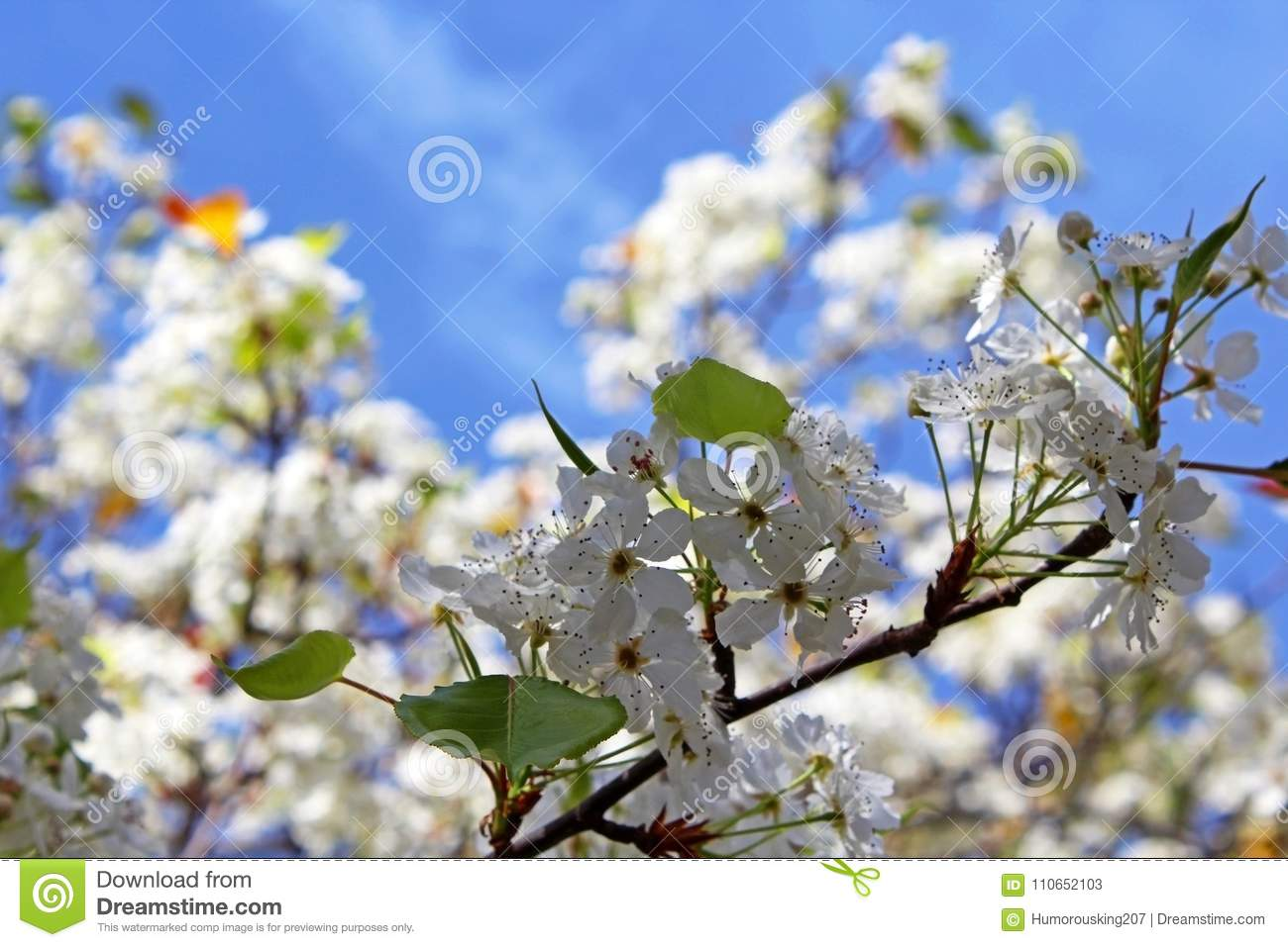 White Flowers Of Evergreen Pear Tree Stock Image Image Of Bloom
