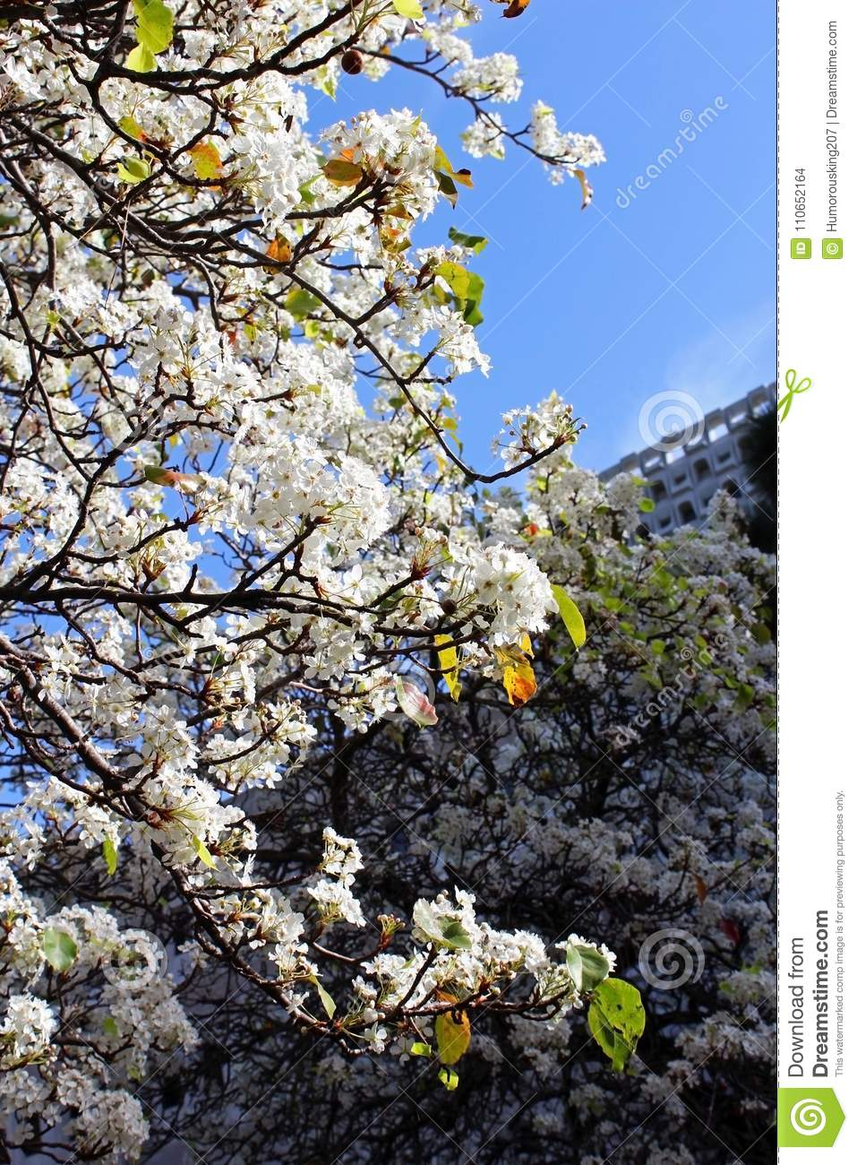 White Flowers Of Evergreen Pear Stock Photo Image Of California