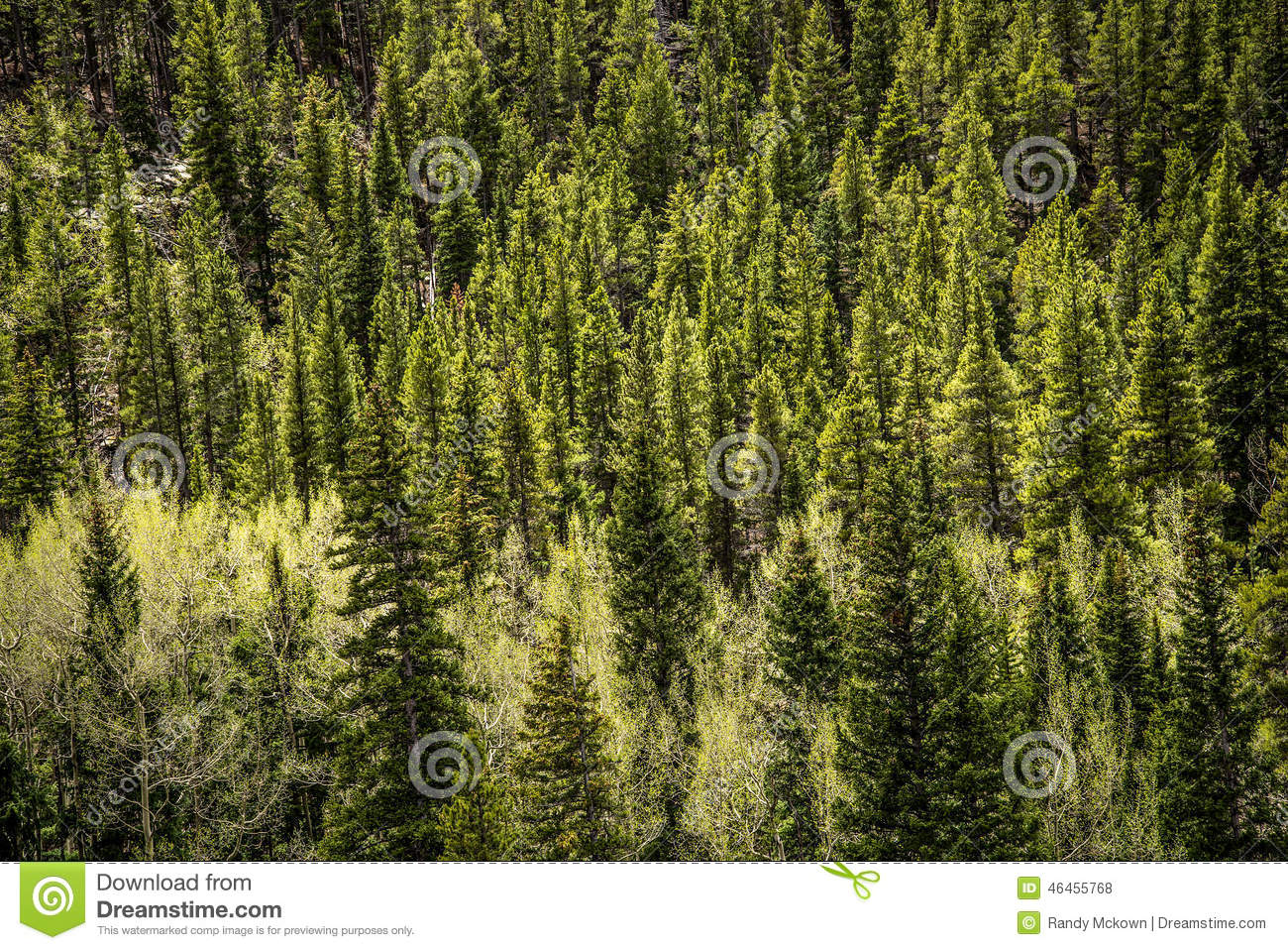 Evergreen Pine Stock Photo