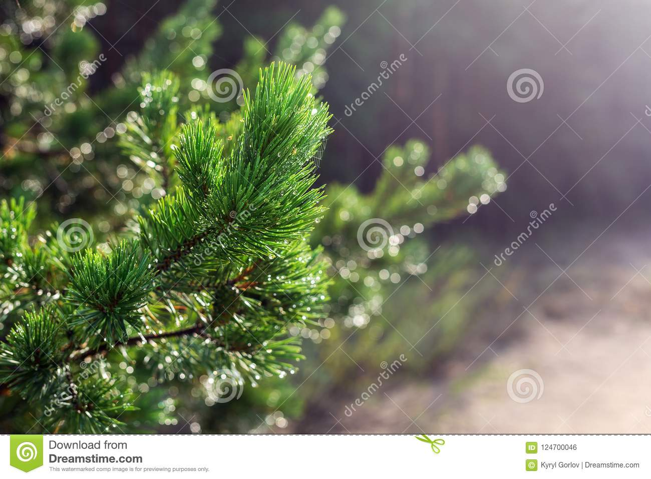 Evergreen pine tree branch in warm morning light. Close-up coniferous tree needle with spider web in sunrise. Beautiful