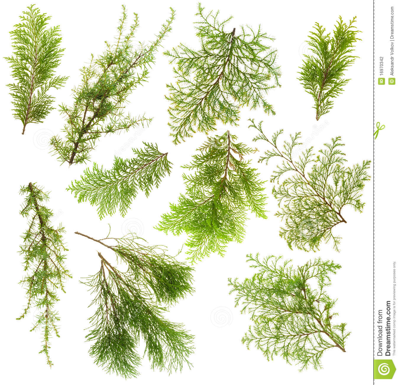 Evergreen Plants Branches Isolated Set Stock Photography ...