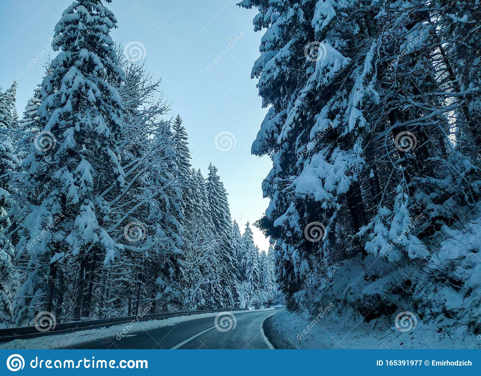 Evergreen Trees Snow Stock Photos Download 16 229