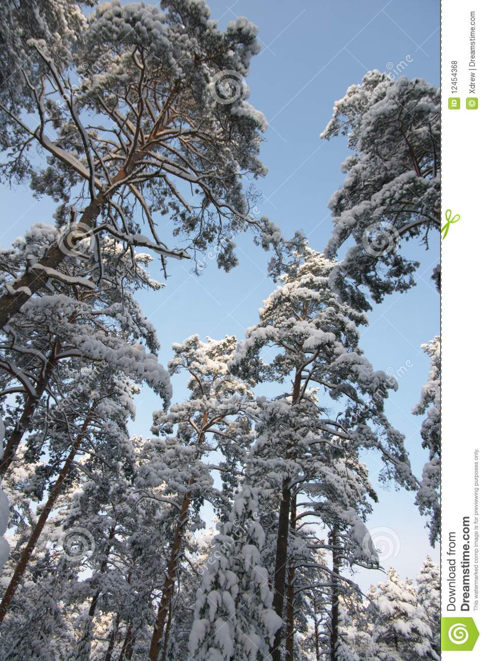 Evergreen Trees In Winter Stock Photo Image Of Frozen