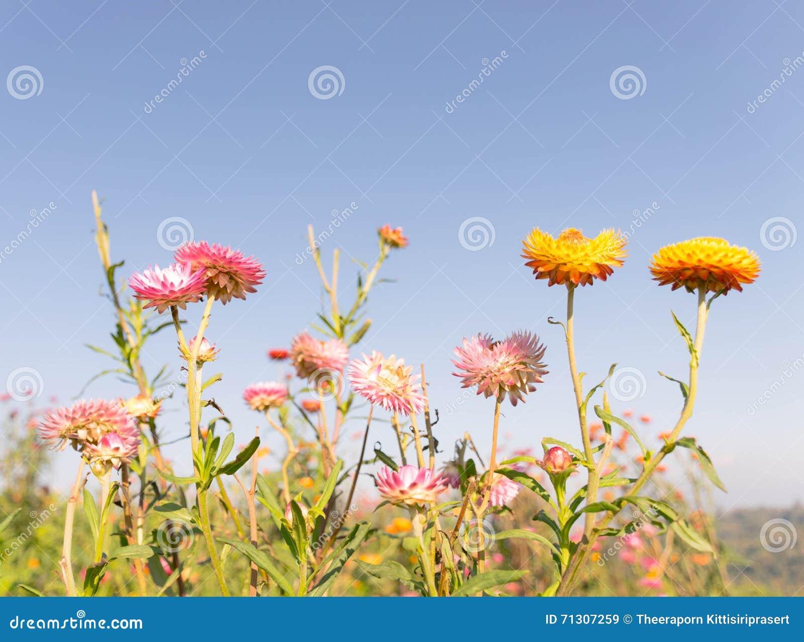 Everlasting Flower Field Stock Image Image Of Pink Cute 71307259