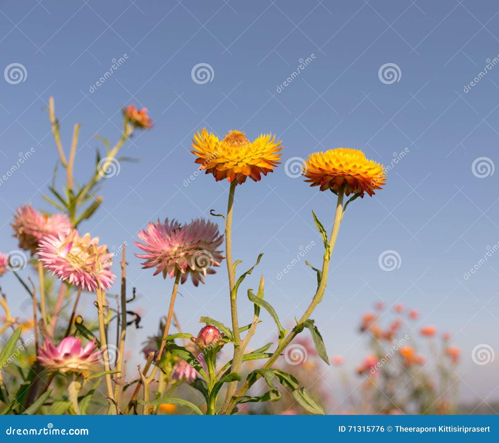 Everlasting flower field stock photo image of blue season 71315776 everlasting flower field izmirmasajfo