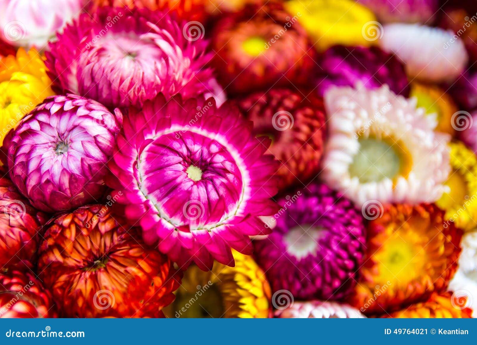 Download Everlasting pink stock image. Image of natural, detail - 49764021