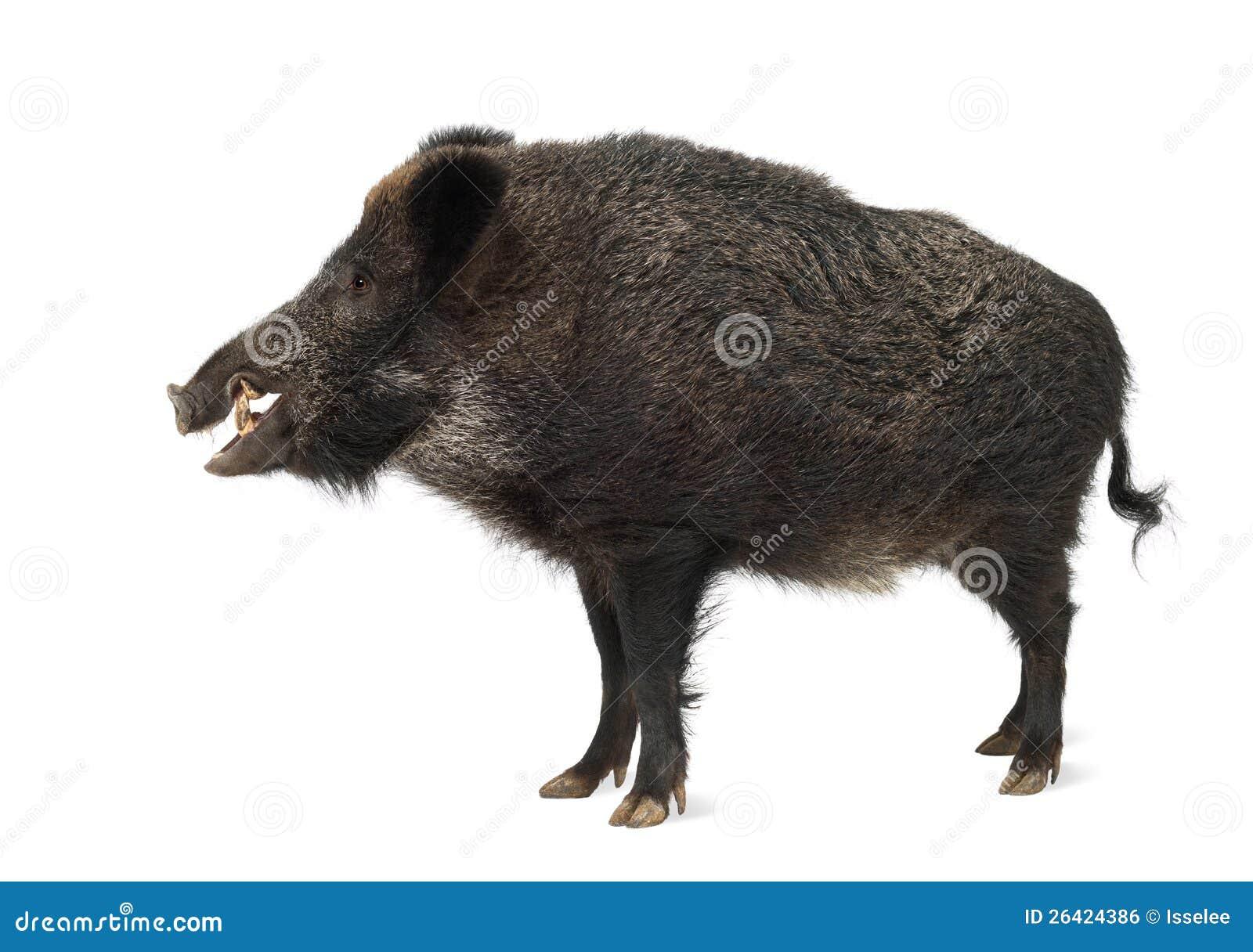 Everzwijn, ook wild varken, scrofa Sus