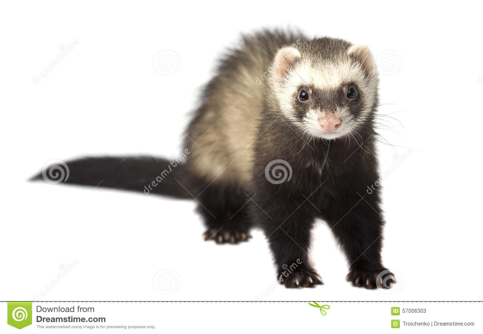The evil ferret isolated stock image. Image of evil ... | 1300 x 914 jpeg 71kB
