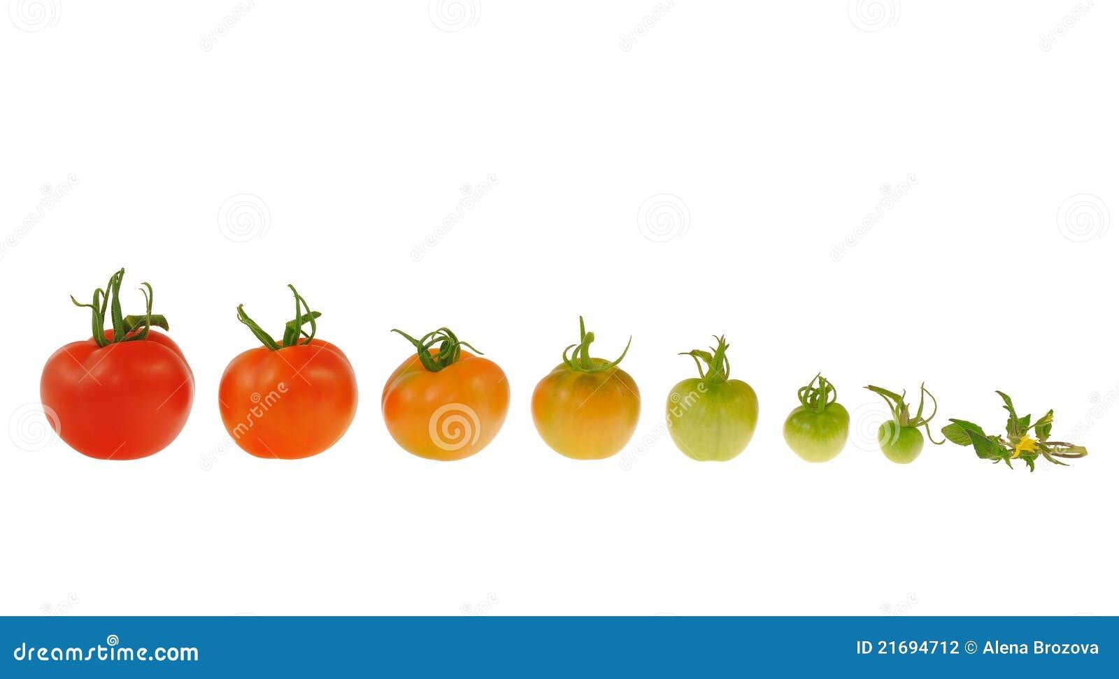 Evolutie van rode tomaat die op witte backgrou wordt geïsoleerde