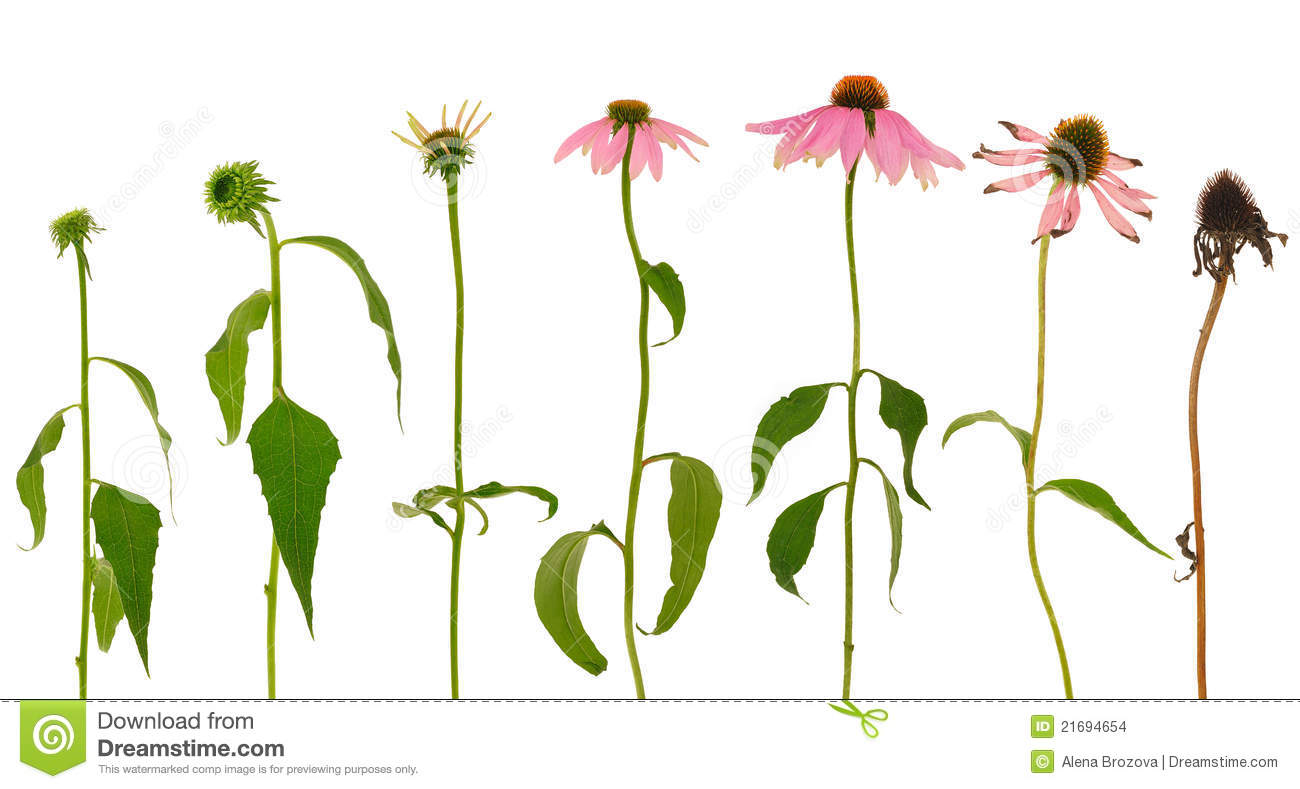 evolution of echinacea purpurea flower isolated stock