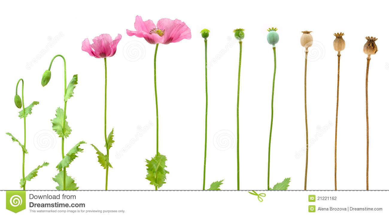 Stock Photography Evolution Opium Poppy Isolated White Image21221162 on Plant Life Cycle Print