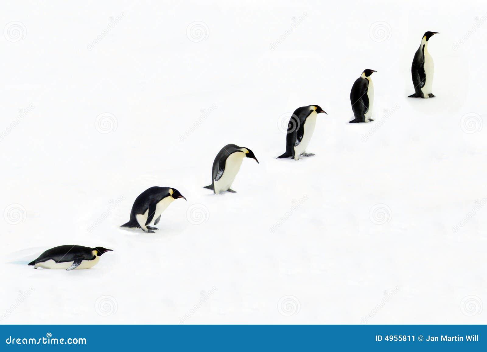 Evolution Of A Penguin Stock Image - Image: 4955811