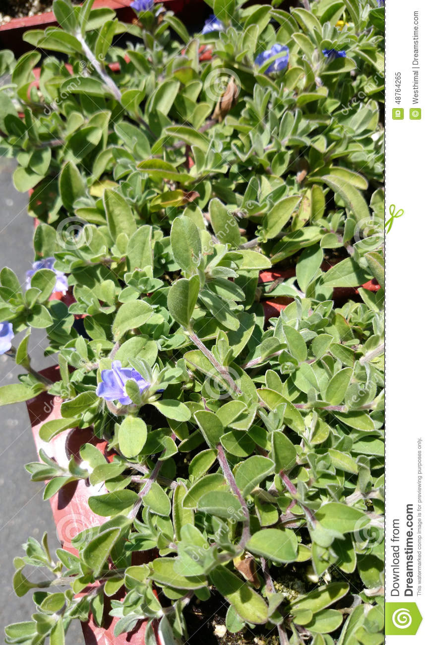 Evolvulus glomeratus hawaiian blue eyes stock image image of evolvulus glomeratus hawaiian blue eyes perennial herb grown as ground cover and basket plant with about 25 mm across blue flowers izmirmasajfo