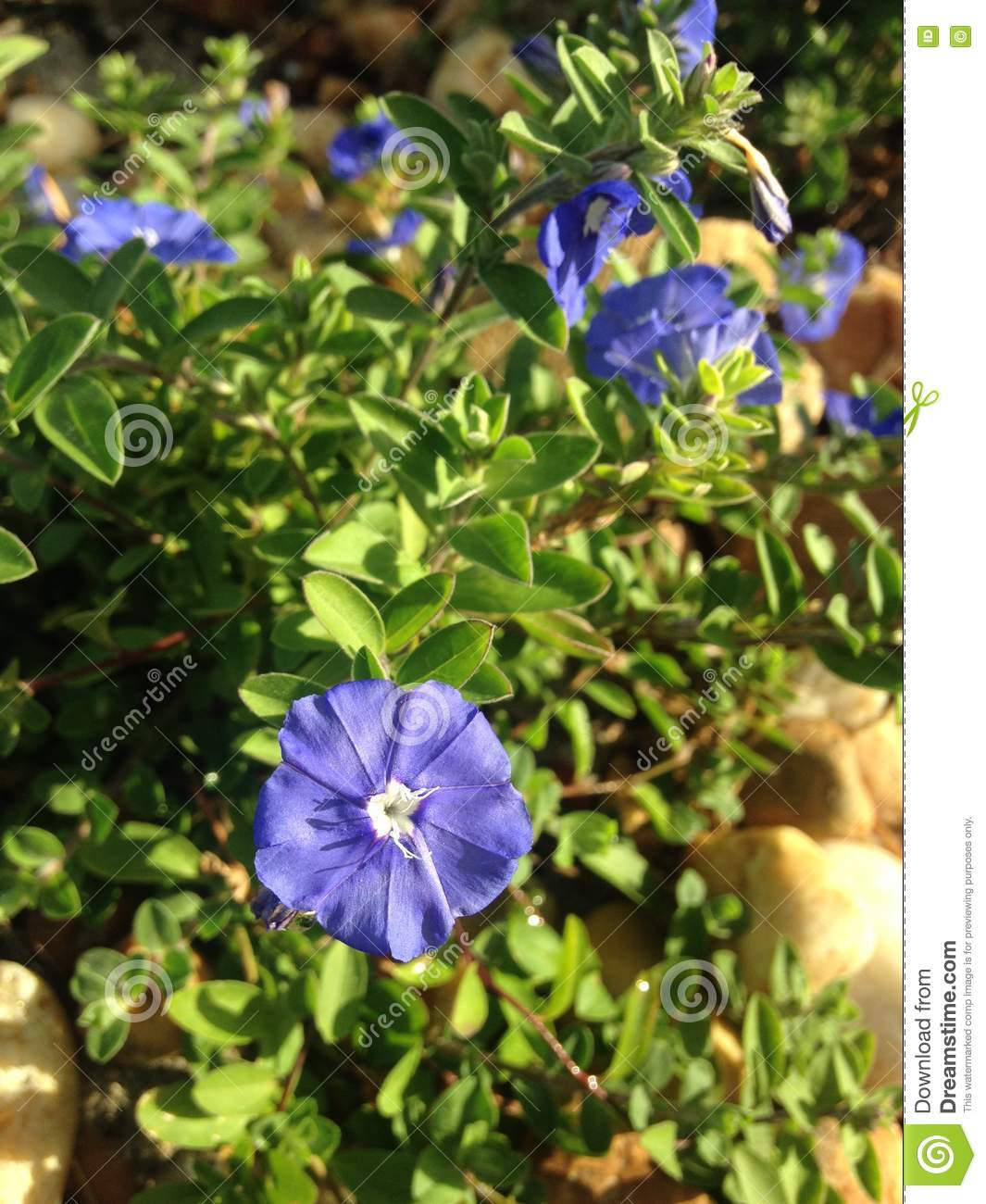 Evolvulus Plants Blossoming In Bright Sunlight During Sunrise In ...