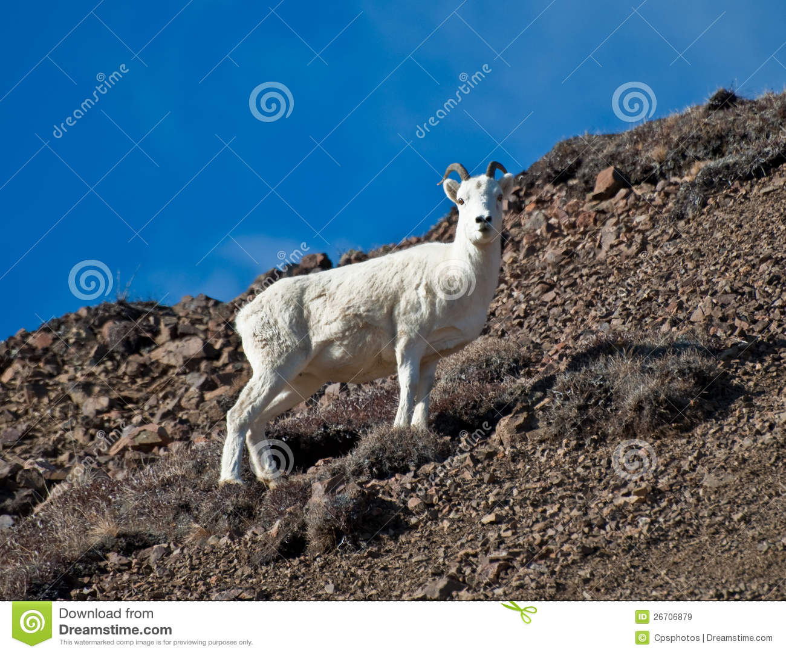 Ewe Dall Sheep