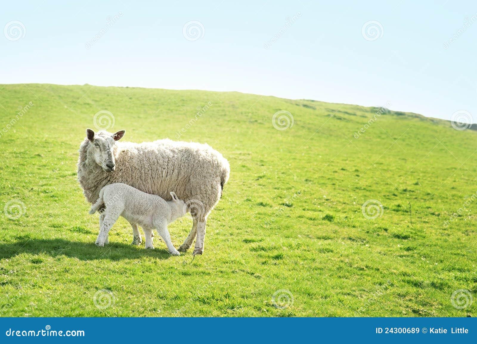 Ewe feeding her lamb