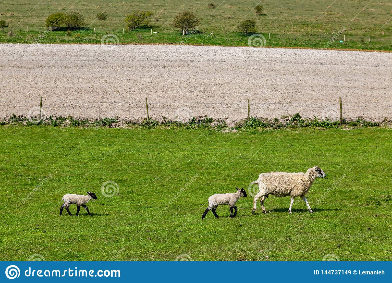 A Ewe and her Babies