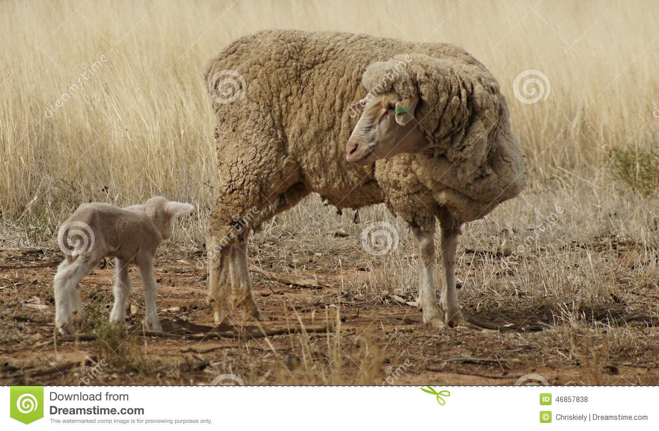 Ewe and Lamb in the Drought