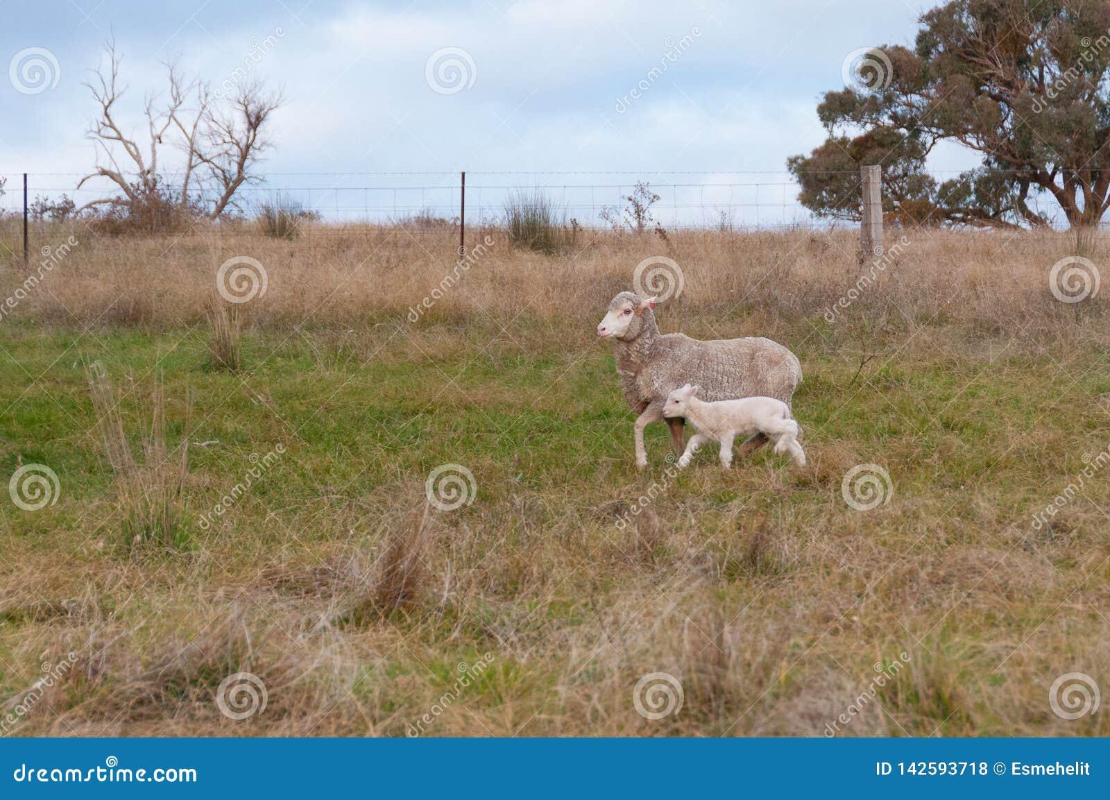 Ewe sheep with baby lamb on a paddock. Farm animals background