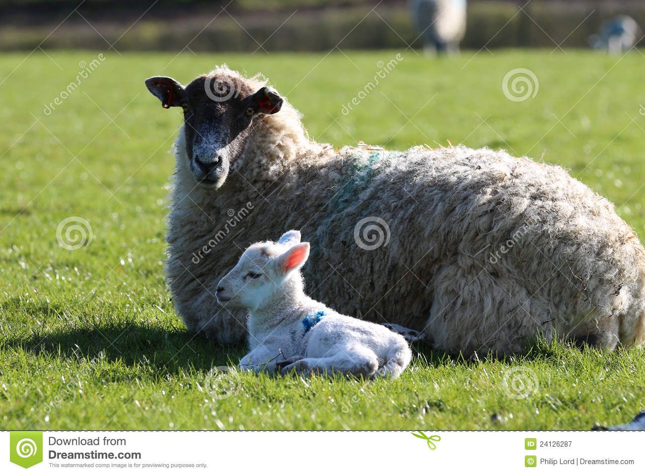 Ewe sheep with lamp stock image  Image of grass, meadow