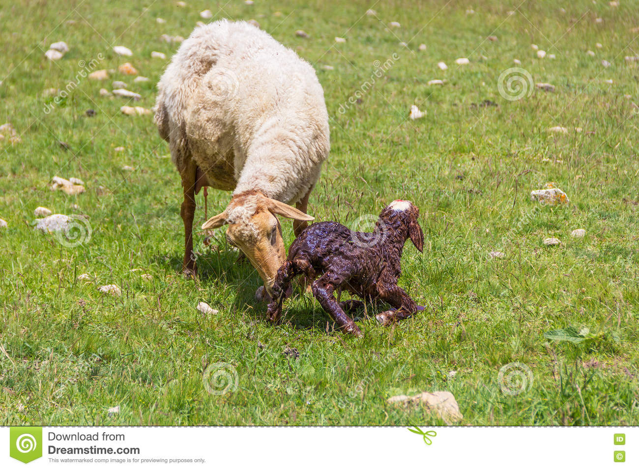 Ewe sheep with newborn lamb