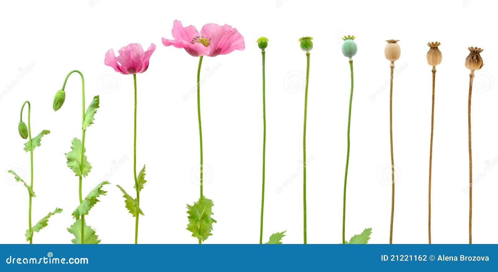 Ewoluci odosobniony opiumowego maczka biel