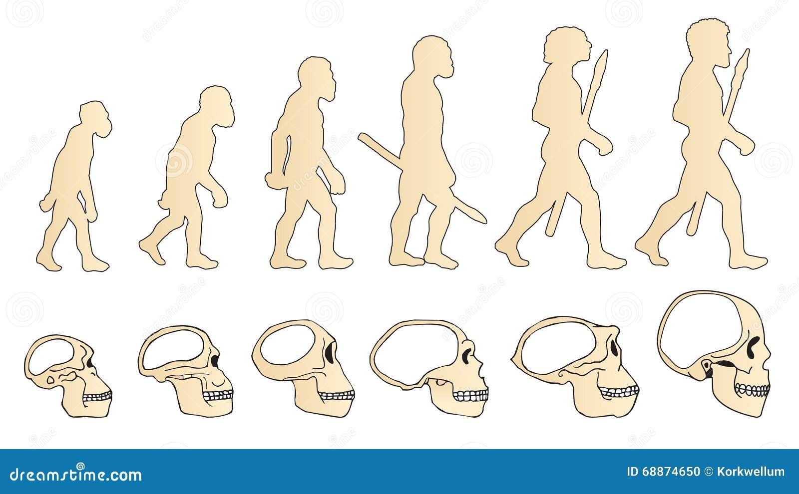 Ewolucja czaszka ludzka czaszka austria Homo Erectus Neanderthalensis Homo sapiens