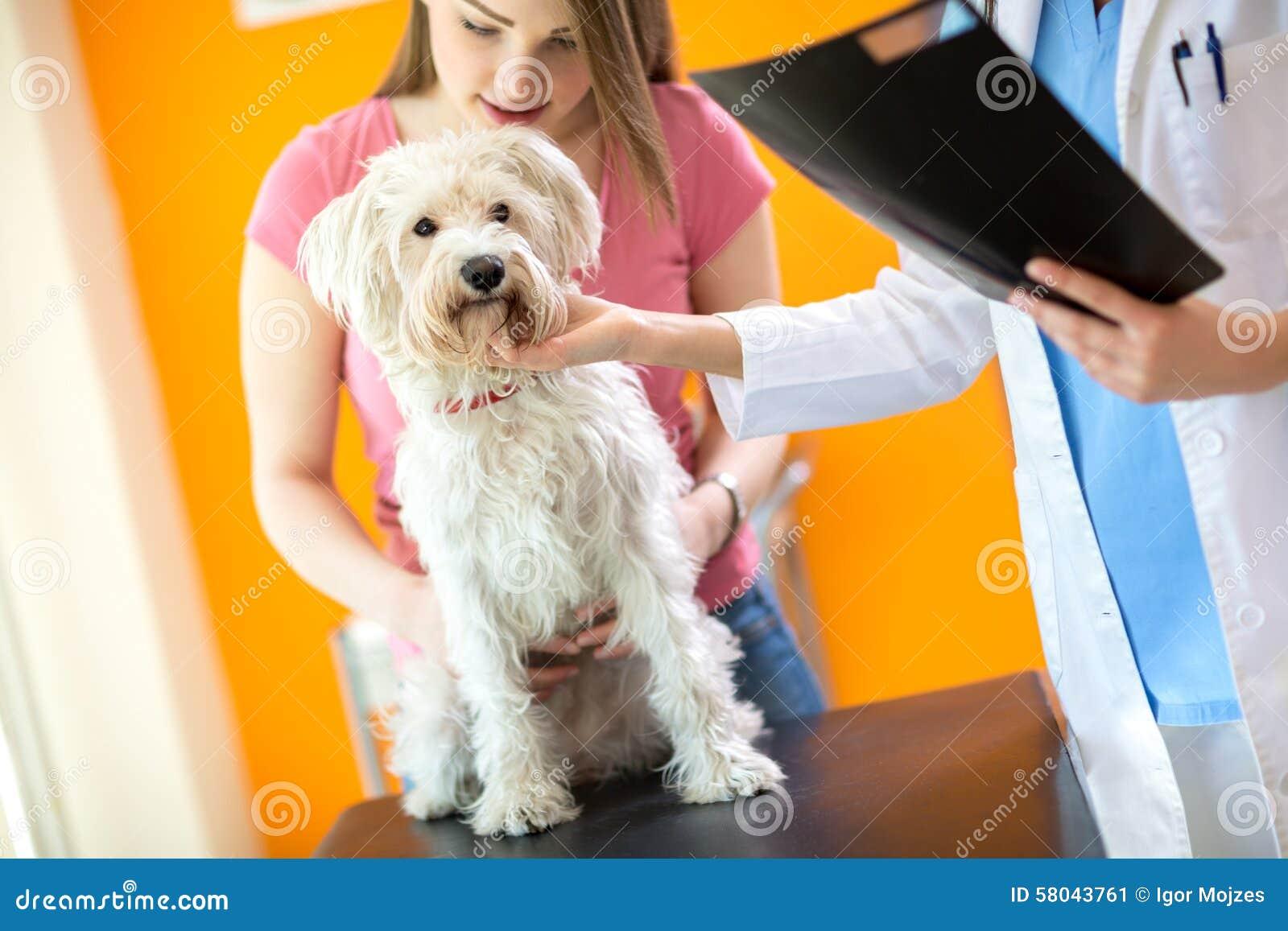 Examen del perro maltés enfermo en clínica del veterinario