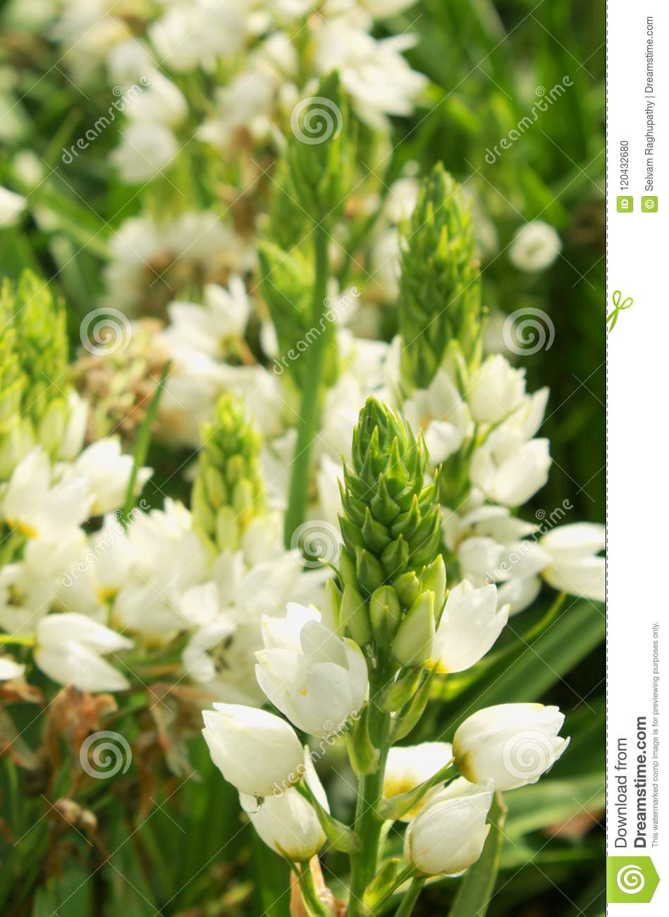 Excellent White Flowers In The Bryant Park Kodaikanal Stock Photo