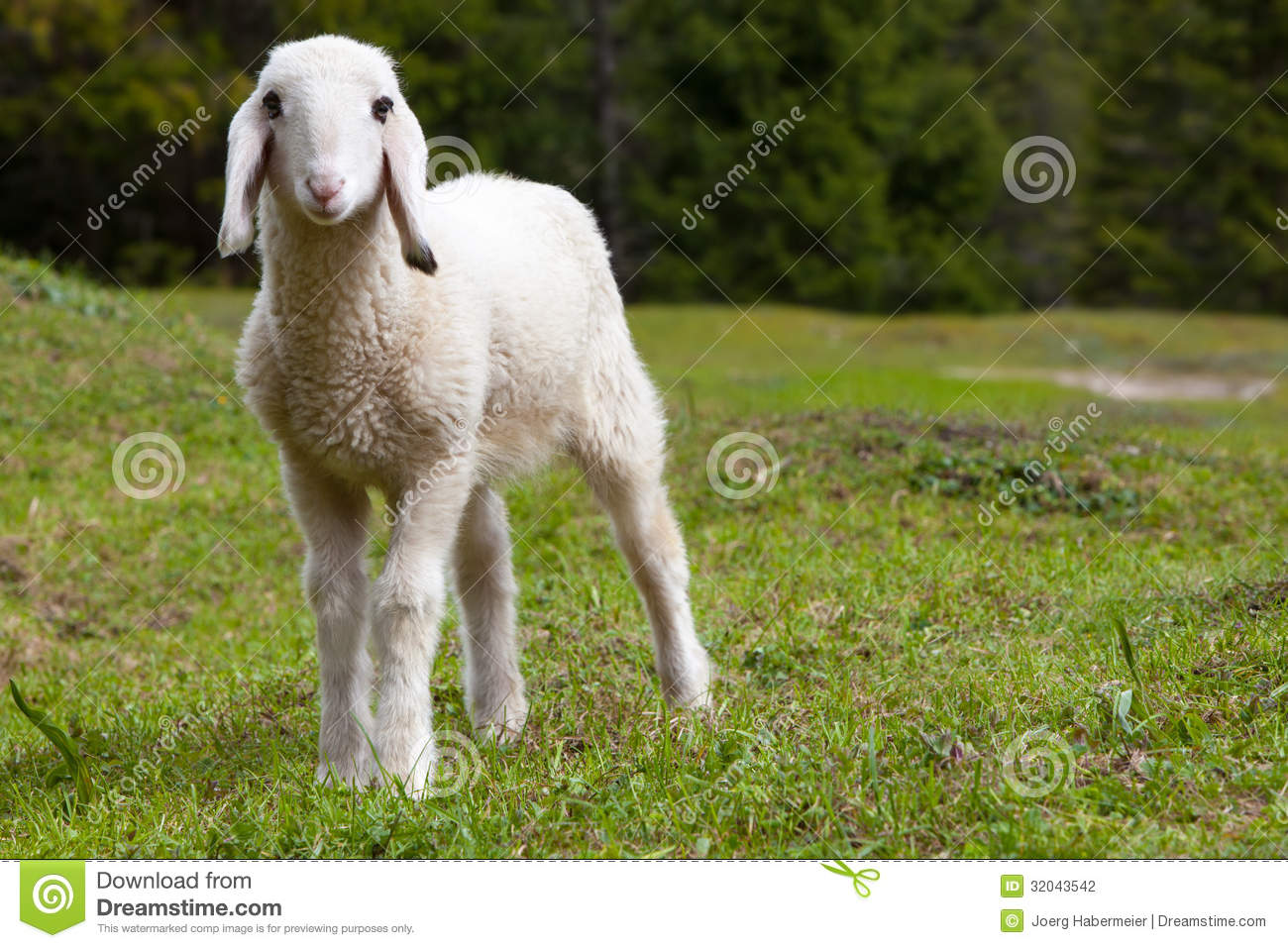 Exceptionally Cute White Lamb In Green Meadow Stock Photo